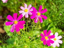Cosmos flower in the field Stock Image