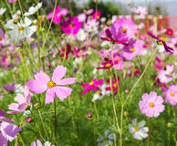 Cosmos flower in the field Royalty Free Stock Image
