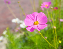 Cosmos flower in the field Royalty Free Stock Images
