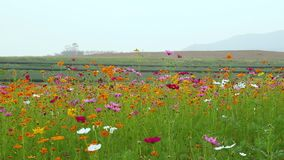 Cosmos flower on field stock footage