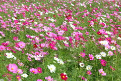 Cosmos flower in field Royalty Free Stock Photo