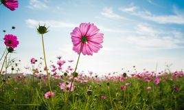 The cosmos flower field Royalty Free Stock Photo