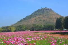 The cosmos flower field. In jim thompson farm, thailand Stock Photography