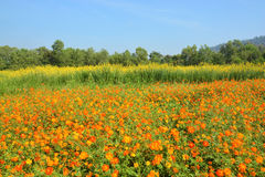 The cosmos flower field. In jim thompson farm, Thailand Royalty Free Stock Image