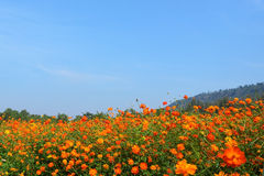 The cosmos flower field. In jim thompson farm, Thailand Royalty Free Stock Photo