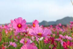 Cosmos flower. Field in morning Royalty Free Stock Photo