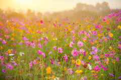 Cosmos flower field in the morning Royalty Free Stock Photography