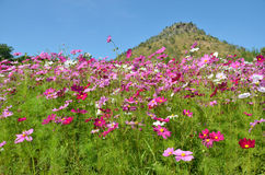 Cosmos flower field Royalty Free Stock Images