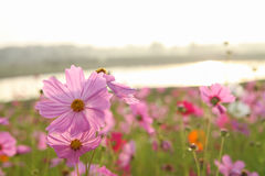 Cosmos flower. Field in the park Stock Images