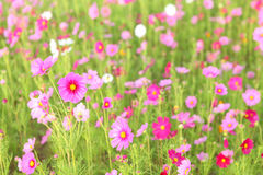Cosmos flower. Field in the park Royalty Free Stock Images
