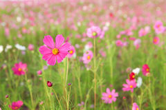 Cosmos flower. Field in the park Royalty Free Stock Image