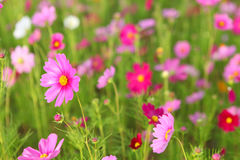 Cosmos flower. Field in the park Stock Photography