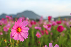 Cosmos flower. Field in the park Stock Photo