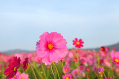 Cosmos flower. Field in the park Royalty Free Stock Photos