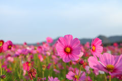 Cosmos flower. Field in the park Stock Photos
