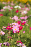 Cosmos flower in field Stock Photography