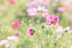 Cosmos flower in field Royalty Free Stock Images