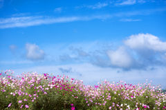 Cosmos flower field Stock Photography