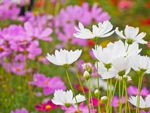 Cosmos flower field the place tourist love to visit. stock photos