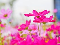 Cosmos flower field the place tourist love to visit. stock photography