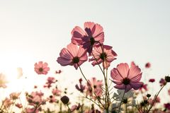 Cosmos flower fields on sky background Royalty Free Stock Images