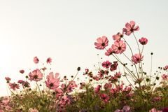 Sunshine is lighting from sky at Cosmos flower fields in the evening Royalty Free Stock Images
