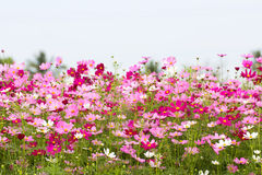 Cosmos Flower field with sky,spring season flowers. The Cosmos Flower field with sky,spring season flowers Stock Photography