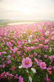 Cosmos flower Field with sunrise Stock Images