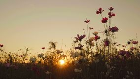 Cosmos flower with sunset stock footage