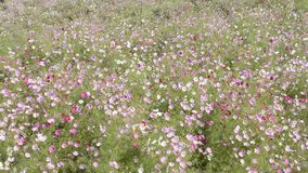 Cosmos flower field swaying stock video footage