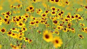 Cosmos flower. Field swaying in the wind stock video footage