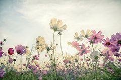 Cosmos flower in the field with vintage Royalty Free Stock Photos