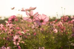 Cosmos flower fields in the evening Royalty Free Stock Photography