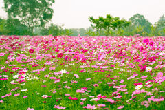 Cosmos flower fields. In Jim Thomson farm, North-east of Thailand Royalty Free Stock Photo