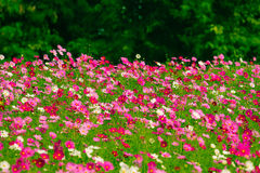 Cosmos flower fields. In Jim Thomson farm, North-east of Thailand Royalty Free Stock Photography