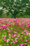 Cosmos flower fields Stock Photography