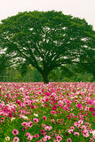 Cosmos flower fields. In Jim Thomson farm, North-east of Thailand Stock Photos