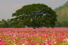 Cosmos flower fields. In Jim Thomson farm, North-east of Thailand Stock Image