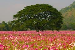 Cosmos flower fields Stock Image