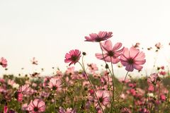 Cosmos flower fields on sky background Royalty Free Stock Photos