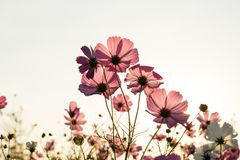 Cosmos flower fields on sky background Royalty Free Stock Image