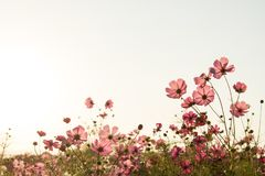 Cosmos flower fields on sky background Stock Images
