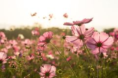 Cosmos flower fields on sky background Royalty Free Stock Photo