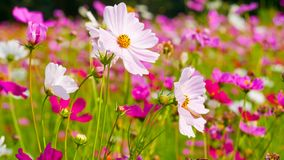 Cosmos flowers in the field. stock images