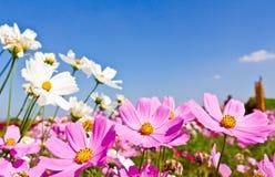 Cosmos Flower Garden Stock Photo
