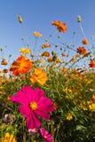 Cosmos flower garden Stock Image