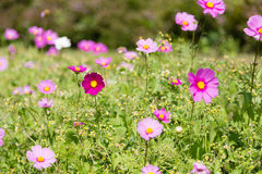 Cosmos flower in garden Stock Photo