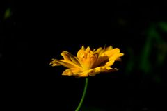Cosmos flower. Is in the garden Stock Photography