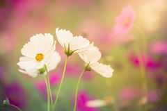 The Cosmos Flower Royalty Free Stock Photography
