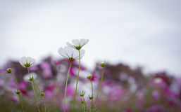 The Cosmos Flower Stock Photos